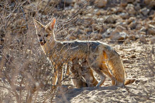 Kgalagadi Wildlife Cape Fox