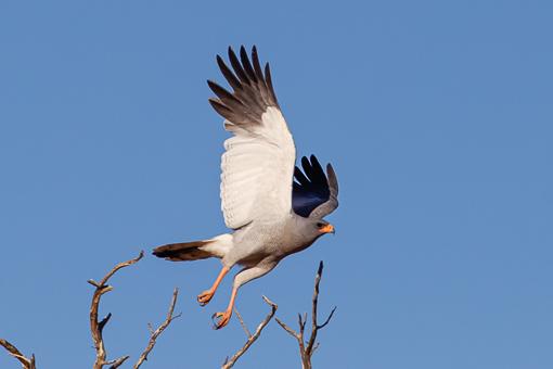 Kgalagadi Wildlife Goshawk