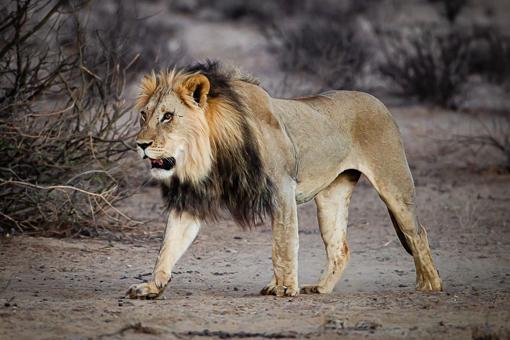 Kgalagadi Wildlife Lion Walking