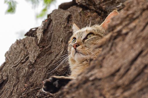 Kgalagadi Wildlife African Wild Cat