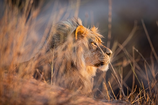 Kgalagadi Wildlife Lion